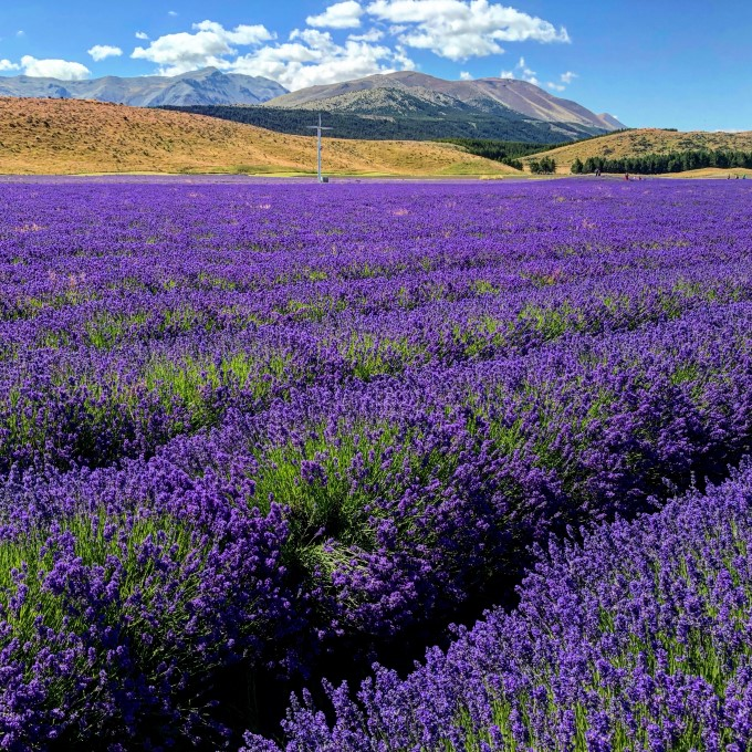 New Zealand Alpine Lavender